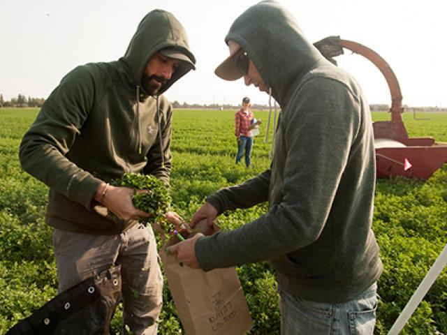 Giuliano Galdi, staff member, (beard) and James Radawich, graduate master candidate, work on processing and weighing the alfalfa during the harvest of alfalfa on October 11, 2017.